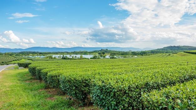 Plantação de chá verde no parque singha chiang rai