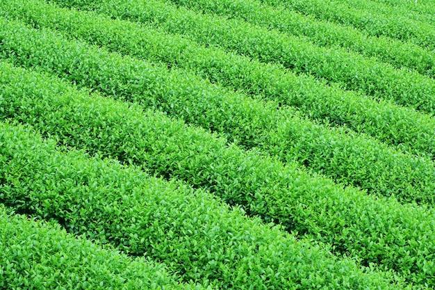 Plantação de chá verde
