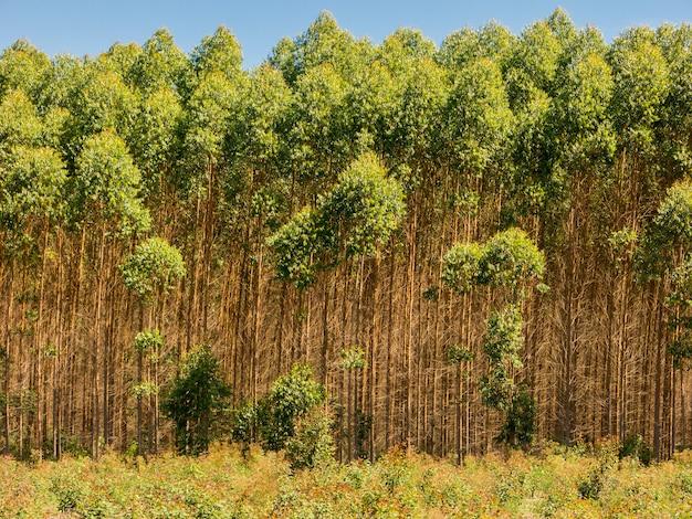 Plantação de eucalipto no brasil