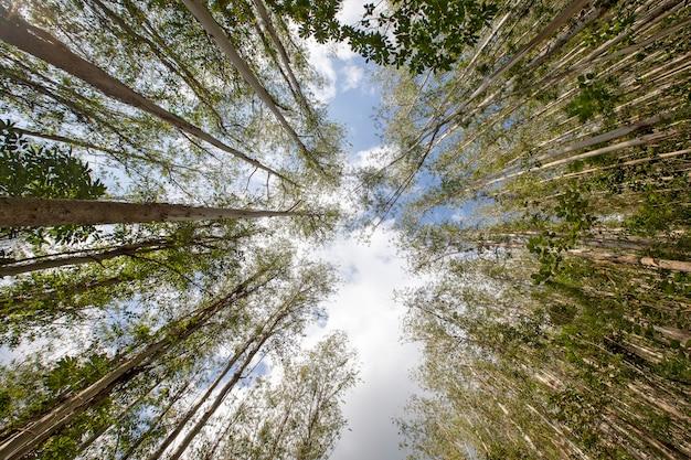 Plantação de eucalipto vista de baixo para cima.