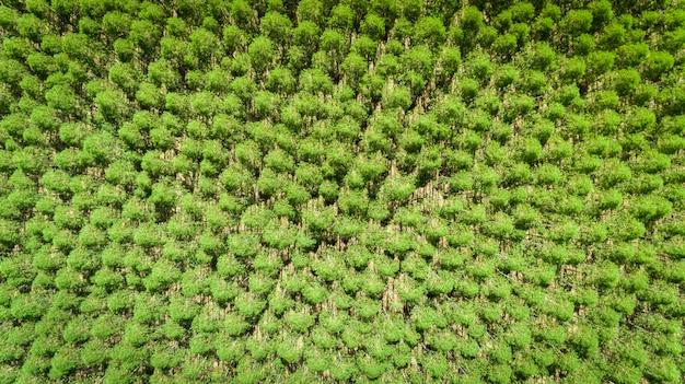 Plantação de eucaliptos no brasil - agricultura de papel celulósico - visão de drone birdseye. vista do topo.
