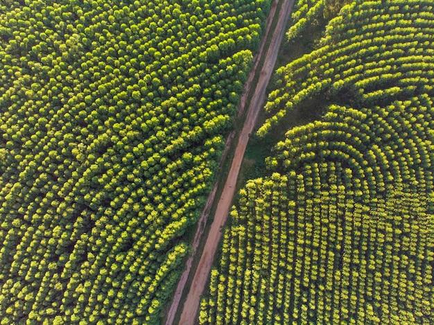 Plantação de eucaliptos no brasil. agricultura de papel de celulose. vista do drone birdseye. vista aérea da floresta verde de eucalipto