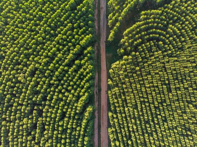Plantação de eucaliptos no brasil.