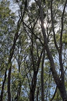Plantação de eucaliptos para uso industrial