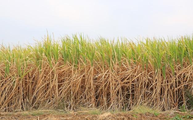 Plantação de fábrica de cana de açúcar