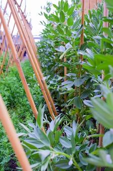 Plantação de feijão largo