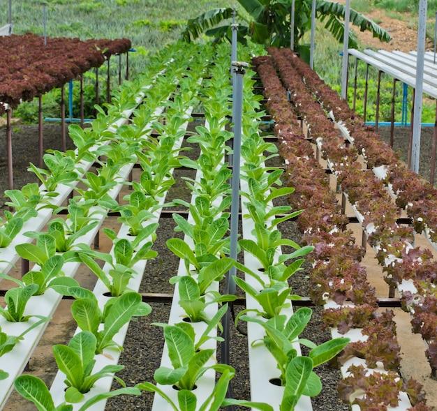 Plantação de folhas de alface no sistema hidropônico