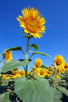 Plantação de girassóis com um dia de céu azul