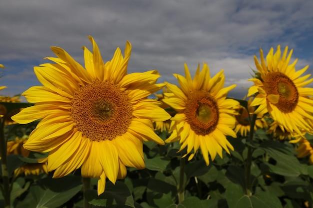 Plantação de girassol. crescimento de flor amarela do girassol. paisagem de verão.