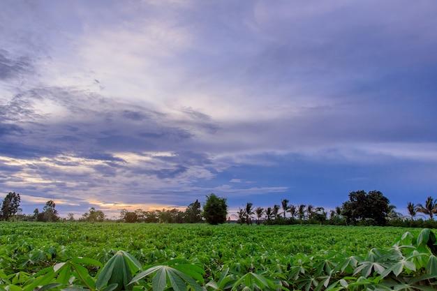 Plantação de mandioca antes da colheita.