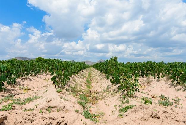 Plantação de mandioca, cultivo de mandioca