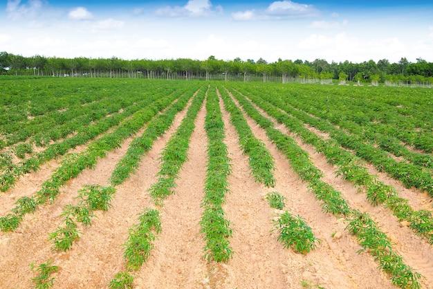 Plantação de mandioca no nordeste com céu azul na paisagem natural