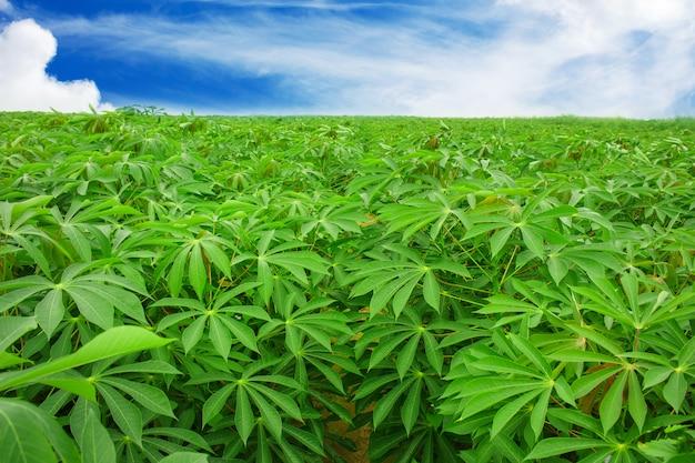 Plantação de mandioca no nordeste da tailândia
