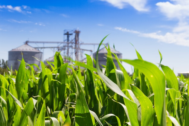 Plantação de milho e silos desfocados no fundo