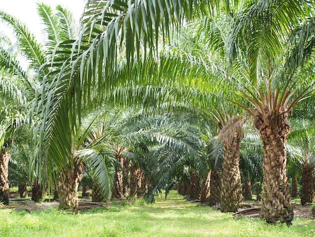 Plantação de óleo de palma na fazenda