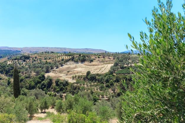 Plantação de oliveiras em creta, a ilha das oliveiras, até onde seus olhos podem ver só existem oliveiras