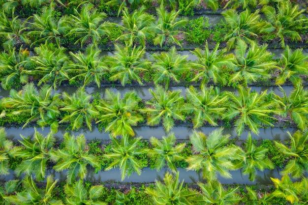 Plantação de palmeiras de óleo ou fazenda de indústria agrícola de campo verde coco na tailândia