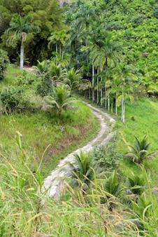 Plantação de palmito de pessegueiro, ou palmito pupunha, em português