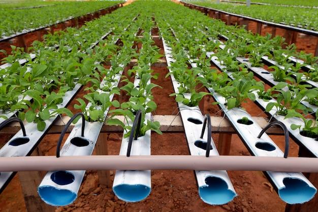 Plantação de salada de foguete pelo sistema de hidroponia