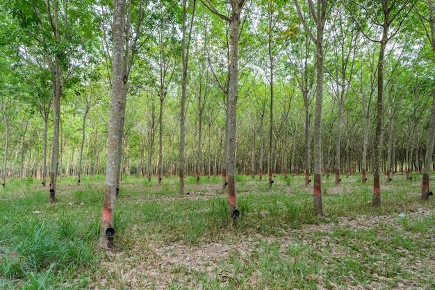 Plantação de seringueira na tailândia