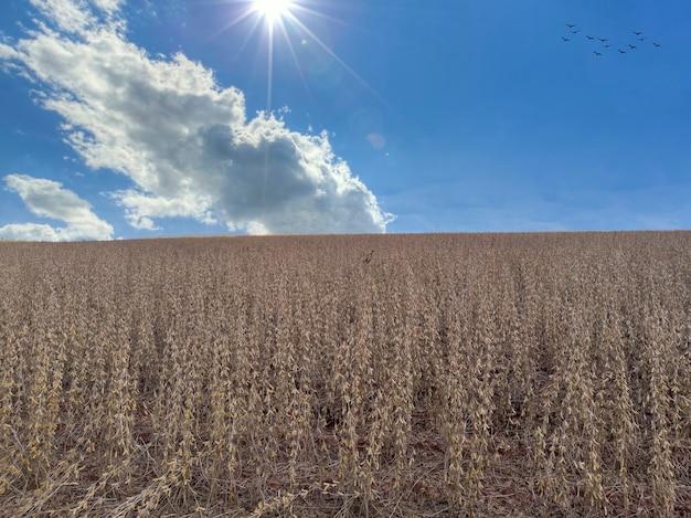 Plantação de soja com grãos secos, pronta para colheita.