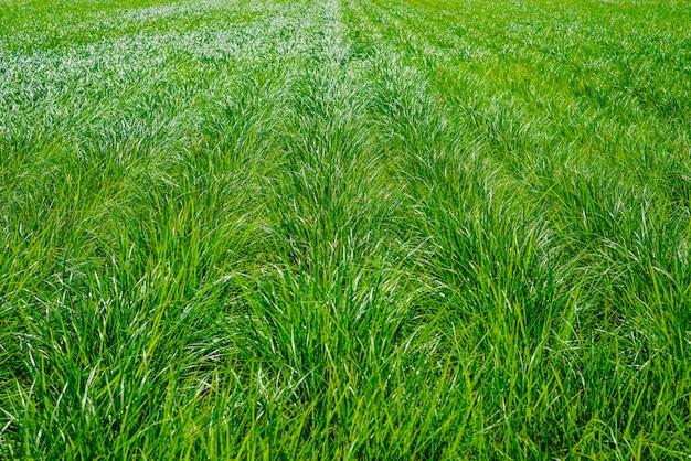 Plantação de tigernuts em valência com altas gramas verdes e altas.