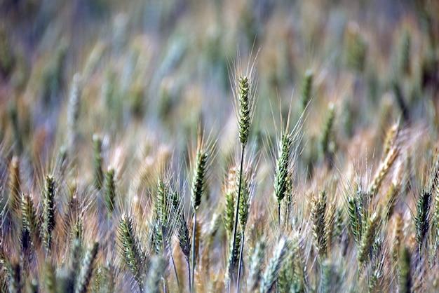 Plantação de triticale, uma nova forragem híbrida