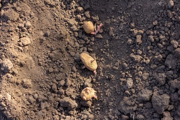 Plantação de tubérculos de batata em close-up de canteiros