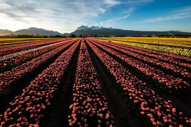 Plantação de tulipas amarelas, roxas e vermelhas na patagônia.