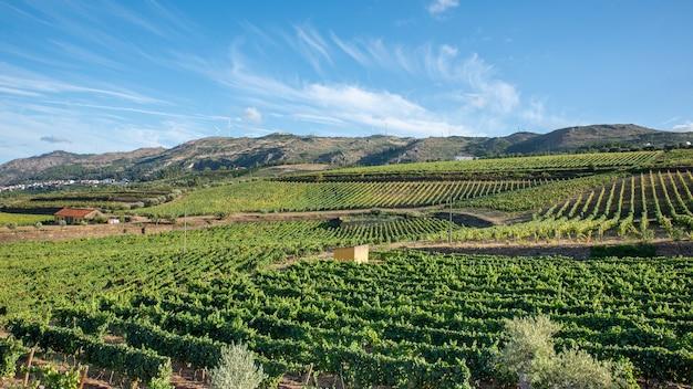 Plantação de uva, vinha para colheita