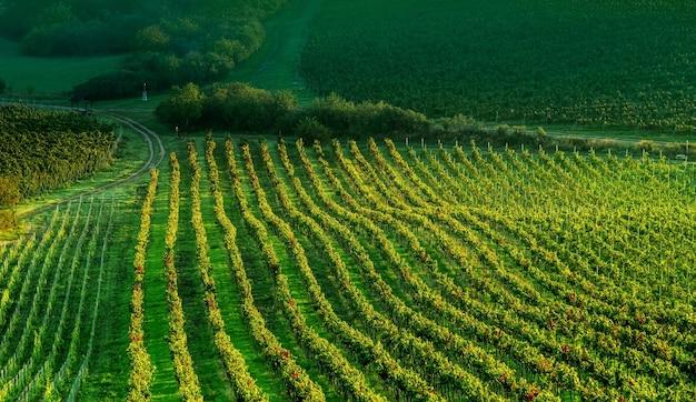 Plantação de uvas ao sol