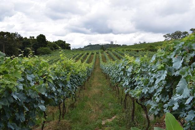 Plantação de uvas com céu nublado