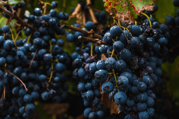 Plantação de uvas malbec na cidade de mendoza, argentina. foco seletivo.