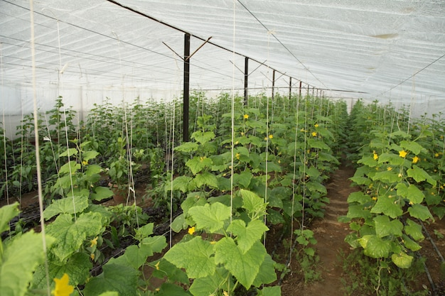 Plantação de vegetais em uma estufa
