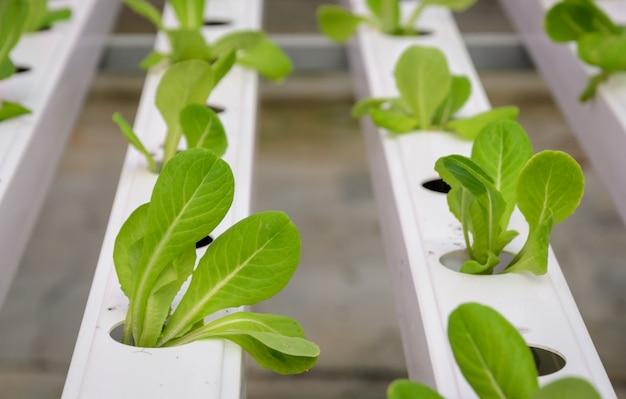 Plantação de vegetais hidropônicos