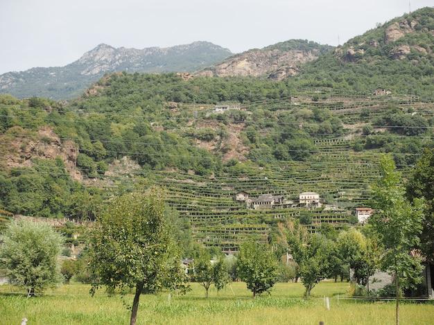 Plantação de videiras de videira no vale de aosta