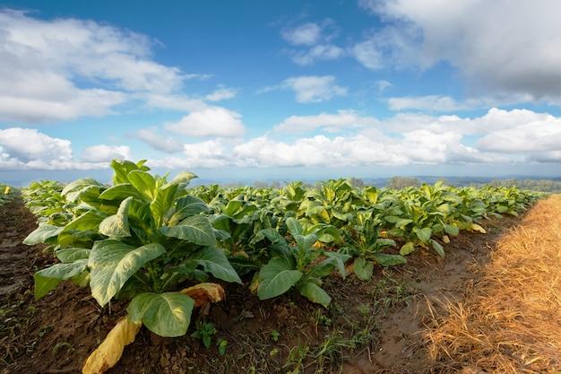Plantação do tabaco na terra verde e crescendo para o charuto e o cigarro feitos.