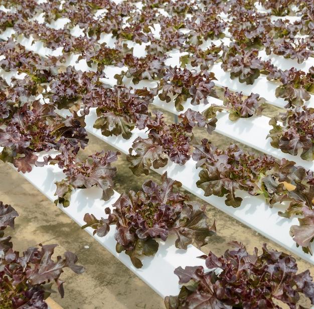 Plantação hidropônica de vegetais de alface folha de carvalho vermelho no sistema aquapônico