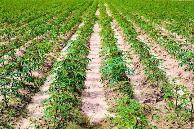 Plantação mandioca, cultivar, crescendo, mandioca, fila, em, fazenda