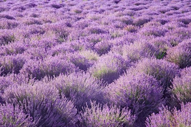 Plantação para o cultivo de uma planta medicinal e aromática de lavanda para a produção de óleos