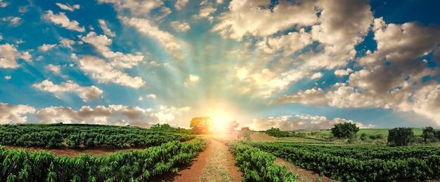 Plantação - pôr do sol na paisagem de campo de café
