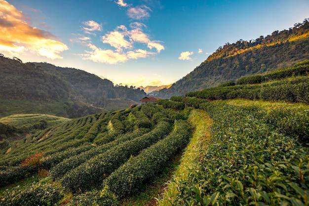 Plantações de chá da manhã nas montanhas