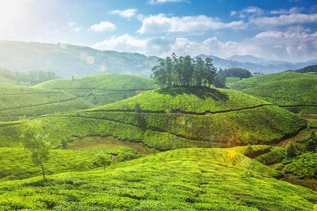 Plantações de chá em kerala, índia