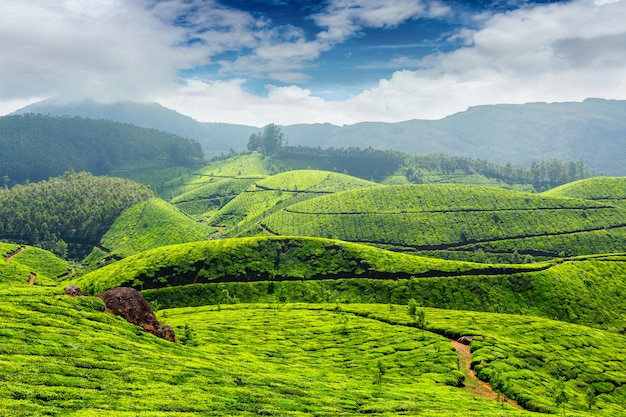 Plantações de chá, índia