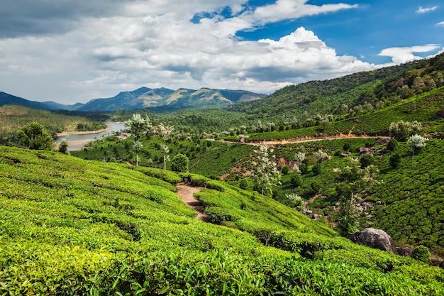 Plantações de chá na índia