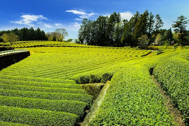 Plantações de chá na montanha