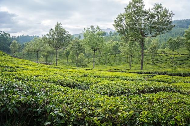 Plantações de chá nas montanhas de munnar kerala, no sul da índia. chá verde de alta montanha em montanhas de plano predam ao fundo. como cultivar chá no ceilão
