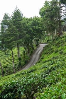 Plantações de chá no vale de cameron. colinas verdes nas montanhas da malásia. produção de chá. arbustos verdes de chá jovem.