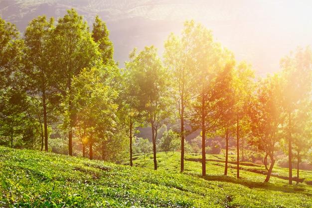 Plantações de chá pela manhã