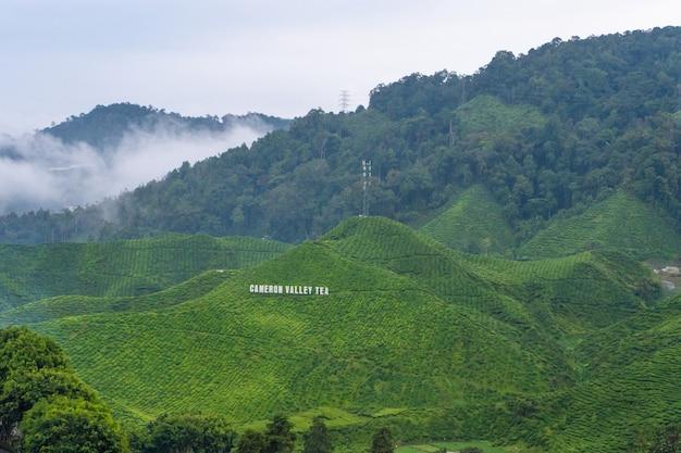 Plantações de chá verde nas colinas nas terras altas. o melhor chá cresce em climas úmidos e nebulosos no alto das montanhas. cameron highlands, malásia - 17/06/2020
